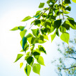 Green summer leaves and blue sky with sun — Stockfoto