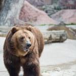 Brown bear. Ursus arctos. Urs carpatin — Stock Photo #21577353