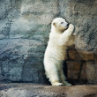 Stock Photo: Little Polar Bear - Ursus Maritimus
