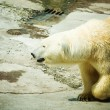 Stock Photo: Polar Bear - Ursus maritimus