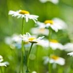 White beautiful chamomiles — Stock Photo #21577721