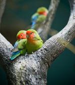 Rosy-faced Lovebirds — Stock Photo