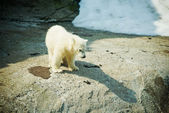 Little Polar Bear - Ursus Maritimus — Stock Photo