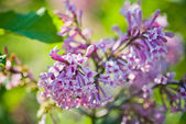 Duftenden lila blüten (syringa vulgaris). — Stockfoto
