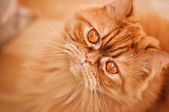 Red cat breed Selkirk rex. — Stock Photo
