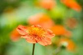 Geum. Beautiful red flowers (shallow DoF) — Stock Photo