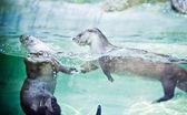 European Otters — Stock Photo