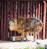 Sichuan Takin (Budorcas Taxicolor Tibetana) or Goat Antelope — Stock Photo