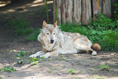 Wolf lying down on a rock. — Stock Photo