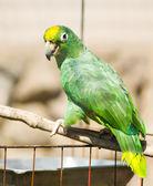 Yellow-naped Amazon Parrot (Amazona auropalliata) — Stock Photo