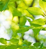 čerstvé nové zelené listy, zářící ve slunečním světle — Stock fotografie