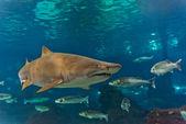 Hai unter wasser in natürlichen aquarium — Stockfoto
