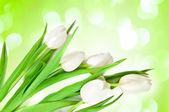White Tulips Border — Stock Photo