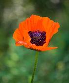 Red poppy (Papaver rhoeas) — Stock Photo