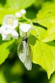 Butterfly Aporia crataegi — Stock Photo