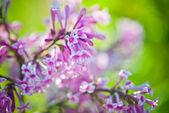 Fragrant lilac blossoms (Syringa vulgaris). — Stock Photo