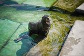 Northern fur seal (Callorhinus ursinus) in the water — Stock Photo
