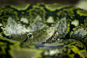 Wild snake portrait with forked tongue. — Stock Photo