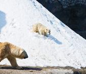 He polar she-bear with kid — Stock Photo