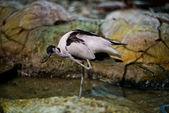 Burhinus capensis — Stock Photo