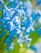 Spring flowers (Scilla Sibirica) — Stock Photo