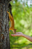 Squirrel on the tree and eat out of hand — Stock Photo