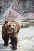 Brown bear. Ursus arctos. Urs carpatin — Stock Photo