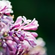 Fragrant lilac blossoms (Syringa vulgaris). Shallow depth of fie - Stock Photo