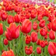 Beautiful tulips field in spring time — Foto Stock