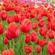 Beautiful tulips field in spring time — Stockfoto