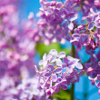 Stock Photo: Fragrant lilac blossoms (Syringa vulgaris). Shallow depth of fie
