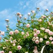 Roses against blue sky.  — Stock Photo