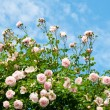 Roses against blue sky. — Stock Photo #22565523