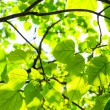 Green leaves, shallow focus — Stock Photo #22566065