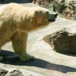 Stock Photo: White bear in a zoo