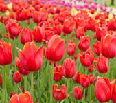 Beautiful tulips field in spring time — Stock Photo