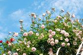 Roses against blue sky. — Stock Photo