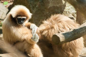 White-Handed Gibbon Sitting Down — Stock Photo