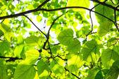 Groene bladeren, ondiepe focus — Stockfoto