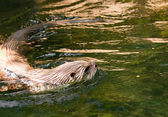 European Otter (Lutra lutra) — Stock Photo
