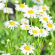 Wild chamomile  — Stock Photo