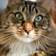 Cat looking at camera — Stockfoto