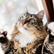 Photo: Funny male cat raises paws up