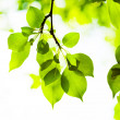 Green leaves, shallow focus — Stock Photo