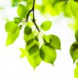 Green leaves, shallow focus — Stock Photo #22851076