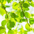 Green leaves, shallow focus — Foto Stock