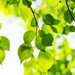 Green leaves, shallow focus — Stock Photo #22851086