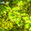 Green leaves, shallow focus — Stock Photo #22851168