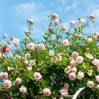 Roses against blue sky. — Stock Photo #22851758