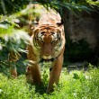 Malayan tiger — Stock Photo